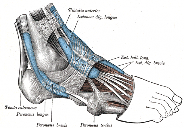 structure of the foot showing peroneal tendons and their attachments to the metatarsal bone